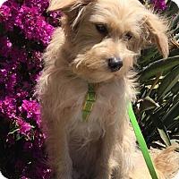 Adopt A Pet :: Emma - Costa Mesa, CA