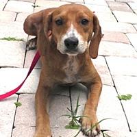 Adopt A Pet :: Reba - Tampa, FL