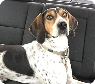 Treeing Walker Coonhound/Bluetick Coonhound Mix Dog for adoption in Tucson, Arizona - Ranger