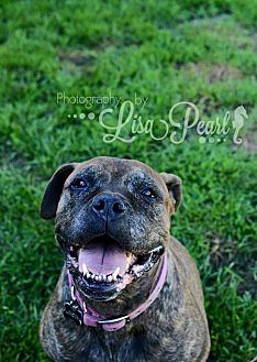 Presa Canario Dog for adoption in Calgary, Alberta - London