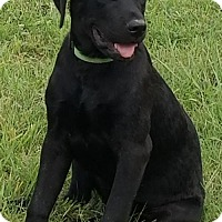 Labrador Retriever Mix Puppy for adoption in Denton, Texas - Peace