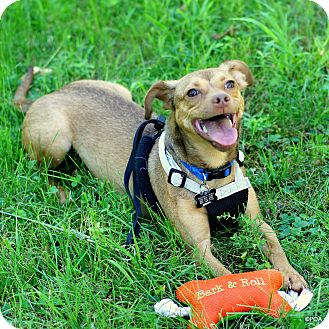 Beagle/Chihuahua Mix Dog for adoption in East Hartford, Connecticut - Junior