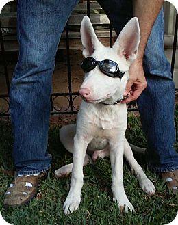 German Shepherd Dog/Labrador Retriever Mix Puppy for adoption in Downey, California - Jesse