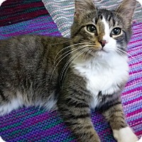 Domestic Longhair Kitten for adoption in Columbus, Ohio - Pistol
