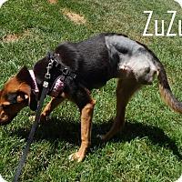 Adopt A Pet :: Zuzu - Washington, PA