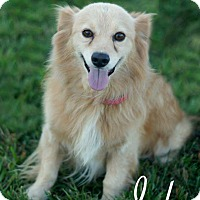Papillon/Spaniel (Unknown Type) Mix Dog for adoption in Franklin, Tennessee - Jake