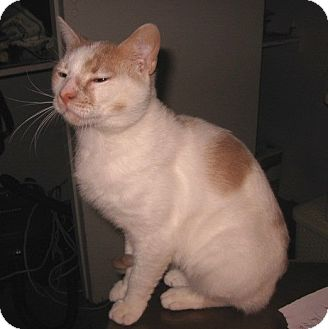 Domestic Shorthair Cat for adoption in Colmar, Pennsylvania - Julian