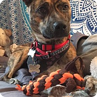 Adopt A Pet :: Zula - in Maine - kennebunkport, ME