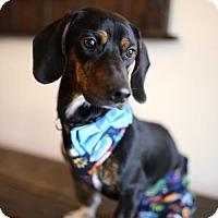 Adopt A Pet :: Bobby - Weston, FL