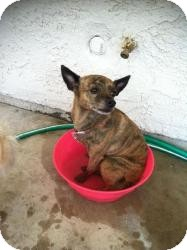Greyhound/Chihuahua Mix Dog for adoption in Las Vegas, Nevada - Jackie