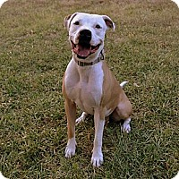 Adopt A Pet :: Big Bundle of Love Blue - Pflugerville, TX
