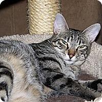 Domestic Shorthair Cat for adoption in Schertz, Texas - Luvena Luvy  TL