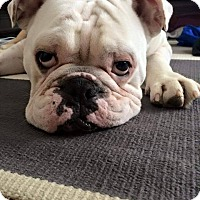 Adopt A Pet :: Tank - Park Ridge, IL