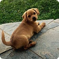 Adopt A Pet :: Chubbs - Encino, CA