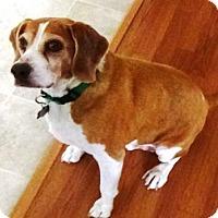 Adopt A Pet :: Bandit W - Phoenix, AZ