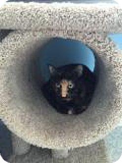 Domestic Shorthair Cat for adoption in Fairfax, Virginia - Georgette