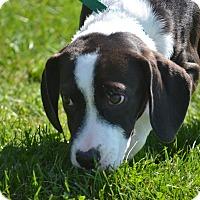 Adopt A Pet :: Gus - Lake Odessa, MI