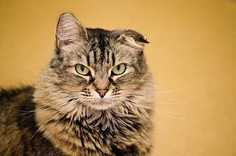 Domestic Longhair Cat for adoption in Atlanta, Georgia - Puff 11631
