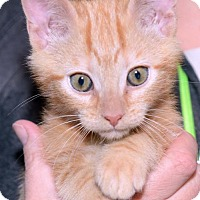 Adopt A Pet :: Mr. Tibbles - ADOPTION PENDING! - Potomac, MD