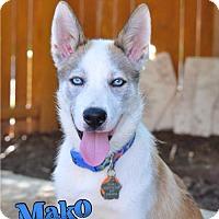 Adopt A Pet :: Mako--Foster needed! - Carrollton, TX