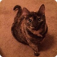 Domestic Shorthair Cat for adoption in Chandler, Arizona - Noel