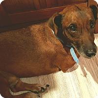 Adopt A Pet :: Dobie - Andalusia, PA