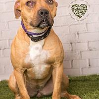 Mastiff/Labrador Retriever Mix Dog for adoption in Inglewood, California - Penny Lane