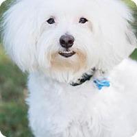 Adopt A Pet :: Asta+ - Santa Fe, TX