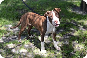 American Pit Bull Terrier Dog for adoption in Jupiter, Florida - Bronco