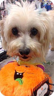 Maltese Dog for adoption in Moreno Valley, California - Darla