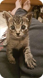 Domestic Shorthair Kitten for adoption in Pottstown, Pennsylvania - Tucker