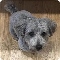 Adopt A Pet :: Stosh *LOVES OTHER DOGS* - Clarkston, MI