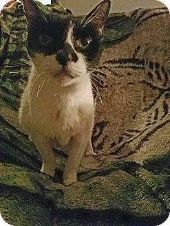 Domestic Shorthair Cat for adoption in Virginia Beach, Virginia - Spotty