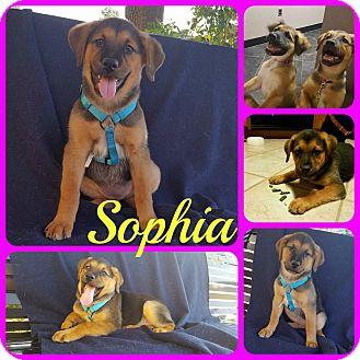 Hound (Unknown Type)/Shepherd (Unknown Type) Mix Puppy for adoption in Ft Worth, Texas - Sophia