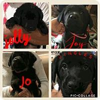 Adopt A Pet :: Jolly J litter - PARSIPPANY, NJ