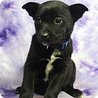 Adopt A Pet :: EMILIA - Westminster, CO