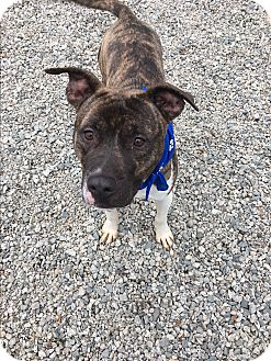 Pit Bull Terrier Mix Dog for adoption in Greensboro, North Carolina - Fierce