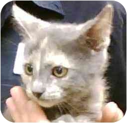 Domestic Shorthair Kitten for adoption in Annapolis, Maryland - Pippy