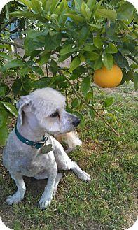 Miniature Poodle/Shih Tzu Mix Dog for adoption in Scottsdale, Arizona - Jacques