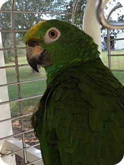 Amazon for adoption in Punta Gorda, Florida - Padjo