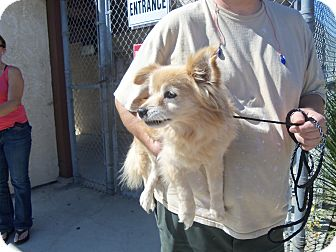Pomeranian Dog for adoption in Malibu, California - SPRITZER