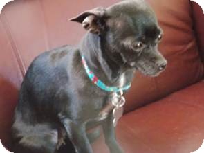 Chihuahua Mix Dog for adoption in San Diego, California - Sookie