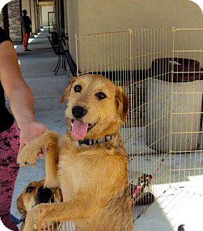 Parson Russell Terrier/Labrador Retriever Mix Puppy for adoption in San Diego, California - Rocky