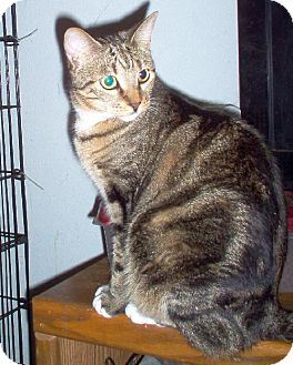 Domestic Shorthair Cat for adoption in Cypress, Texas - Alyssa