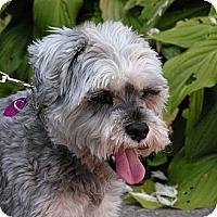 Adopt A Pet :: Guizmo - Rigaud, QC