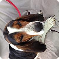 Adopt A Pet :: Ollie - Columbia, SC
