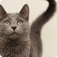 Russian Blue Cat for adoption in Marietta, Georgia - Susie