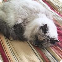 Adopt A Pet :: Sapphire - Herndon, VA