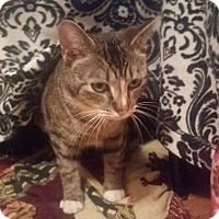 Domestic Shorthair Cat for adoption in Foster, Rhode Island - Parsnip (ETAA)