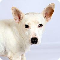 Adopt A Pet :: Spud JR - St. Louis, MO